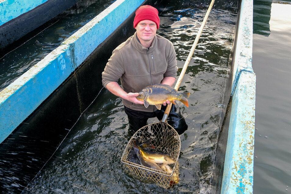 Henry Lindner, der Geschäftsführer der Teichwirtschaft Moritzburg, mit einem rund zwei Kilo schweren Karpfen. Gerade diese häufig nachgefragte Größe ist diesmal Mangelware. Trotzdem ist nicht sicher, dass alle verkauft werden.