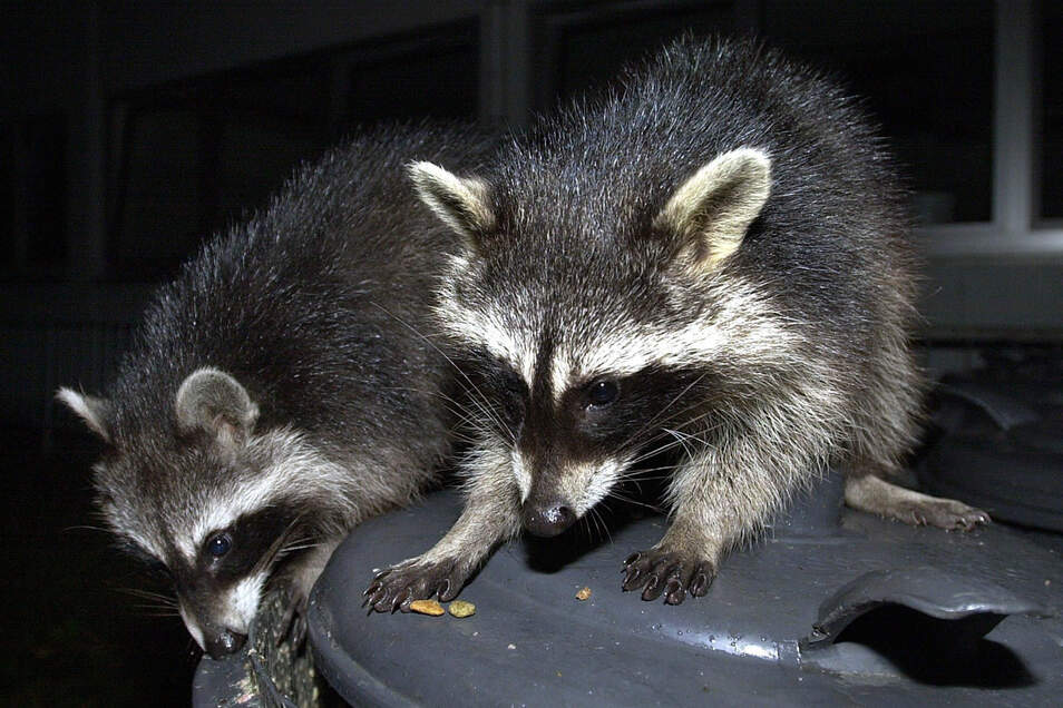 Auf der Suche nach Essensresten machen Waschbären auch vor Mülltonnen in Städten nicht halt. Daher stehen sie im Verdacht, auch am Bismarckturm den Abfall aus den Mülleimern zu wühlen.