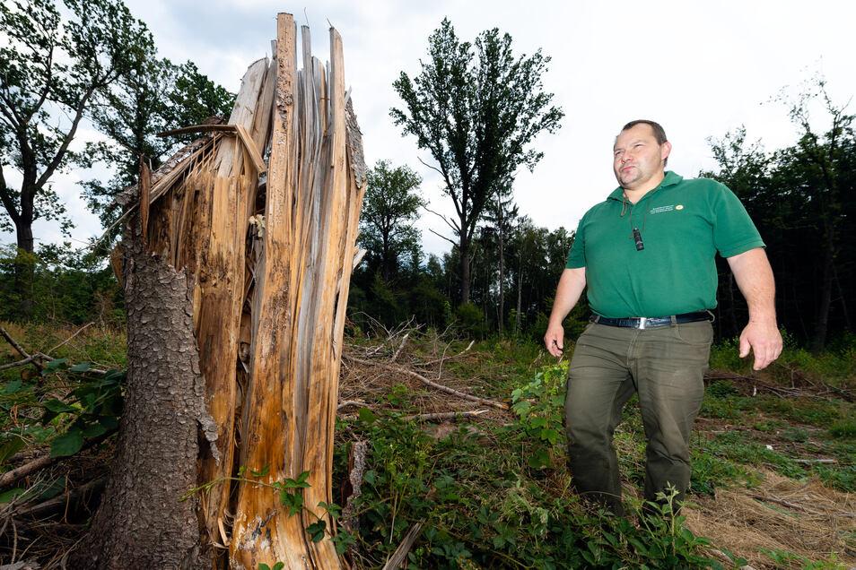 Förster Holm Berger auf einer kahlen Fläche bei Milkel: Die Konkurrenz um Bäume zum Aufforsten des vom Borkenkäfer befallenen Waldes ist groß.