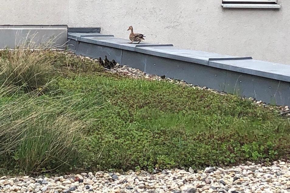 Sicher vor dem Fuchs, aber auch gefährlich hoch: Diese Entenfamilie musste gerettet werden.