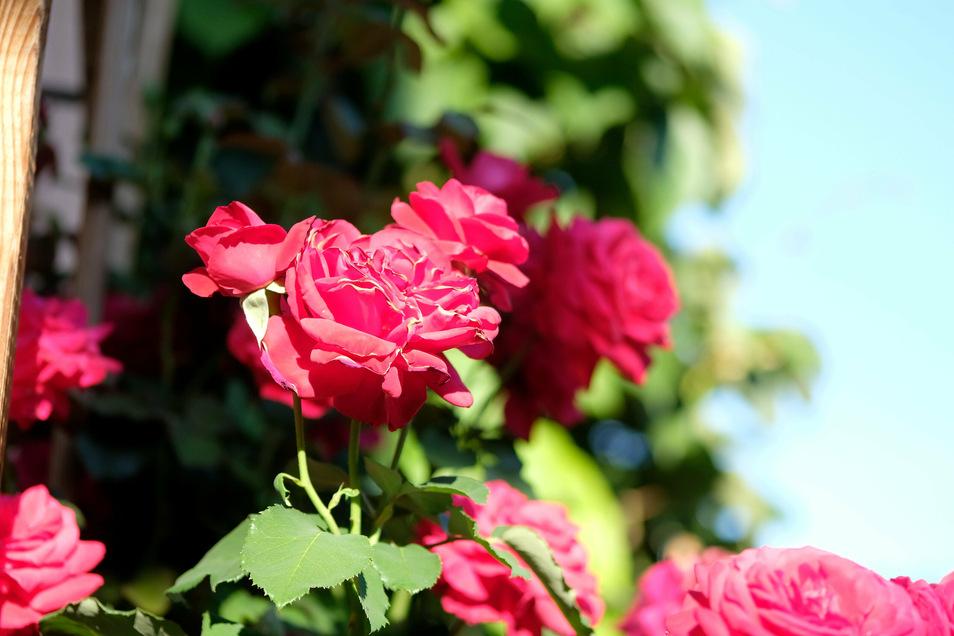 Jedes Familienmitglied hat seinen eigenen Rosen-Strauch. Die Sträucher, die in verschiedenen Farben erblühen, setzen ganz eigene Akzente in den einzelnen Bereichen des Gartens. Neben den Rosen gibt es hier auch eine wilde Blühwiese, eine Lupinen-Insel und eine Jasmintrompete, deren rote Blüten eine Sitzecke überdachen.