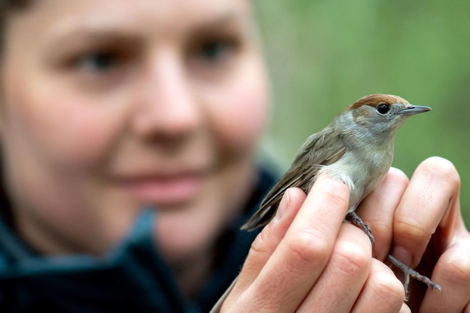 Sabine Urban begutachtet in einem Teichgebiet bei Neschwitz ein Mönchgrasmückenweibchen. Beim Integrierten Monitoring von Singvogelpopulationen werden unter anderem der Gesamtzustand der Vögel bewertet, aber auch Flügel und Gewicht gemessen.
