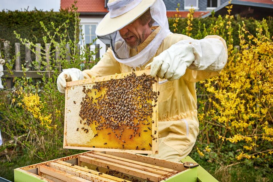 Hobbyimker René Hickmann ist froh, dass es so viele Bienen in der Cottaer Kleingartenanlage gibt. Deshalb hat er hier Bienenstöcke aufgestellt. Die Ernte ist reichlich.