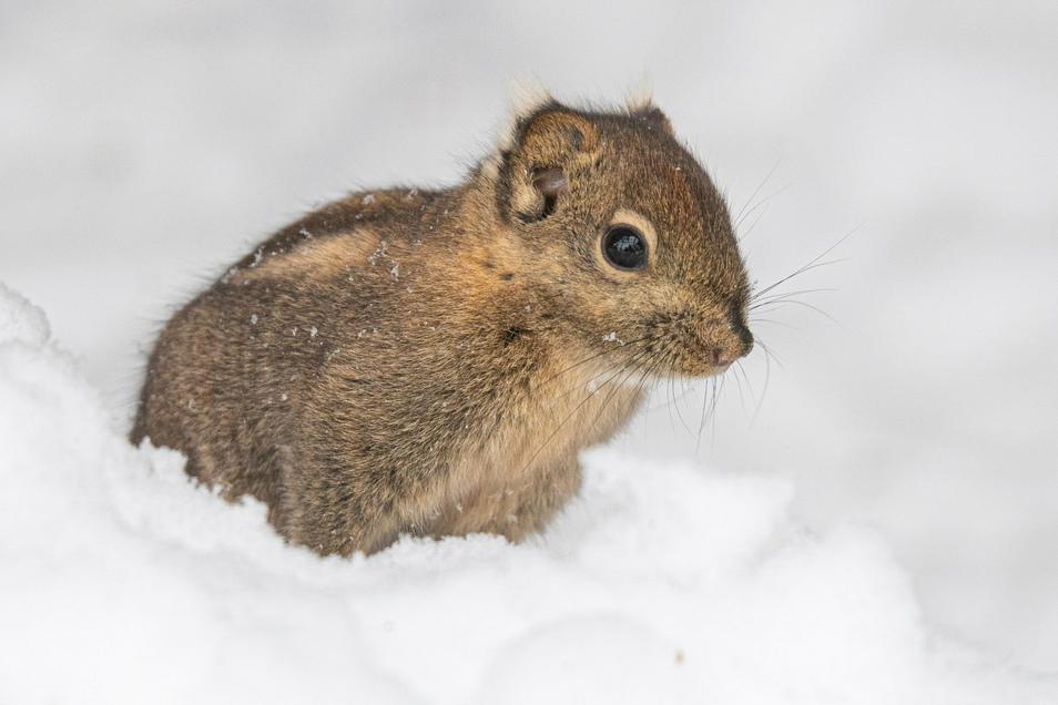 Die Streifenhörnchen tollen sogar im Schnee herum.