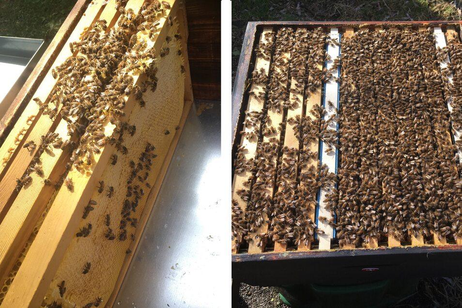 Die beiden Fotos zeigen den enormen Unterschied zwischen einem gesunden Volk (rechts) und einem geschwächten Volk, das deutlich weniger Bienen hat.