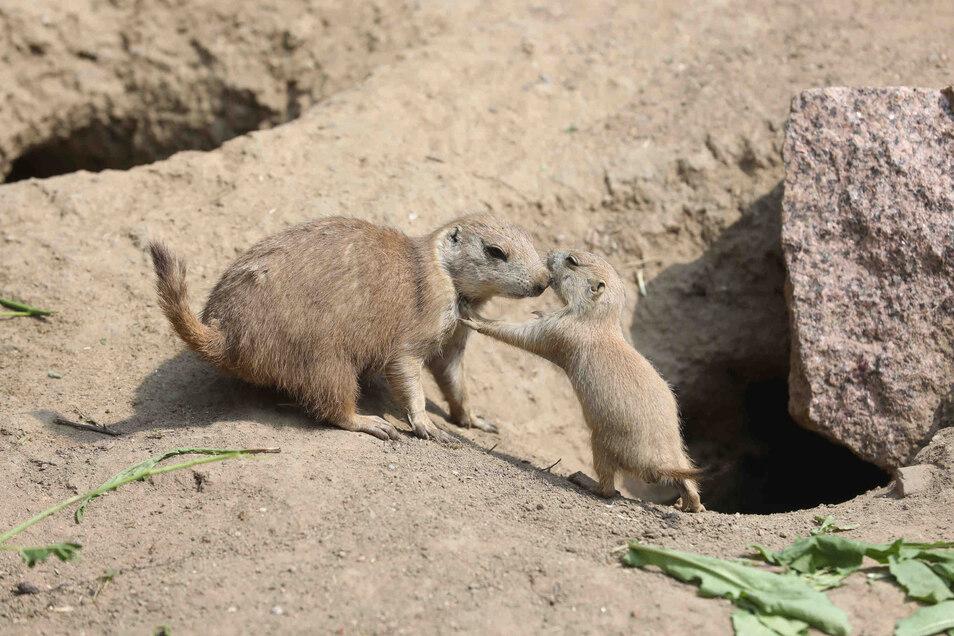 Die kleinen Erdhörnchen versteckten sich zunächst über einen Monat im Bau.