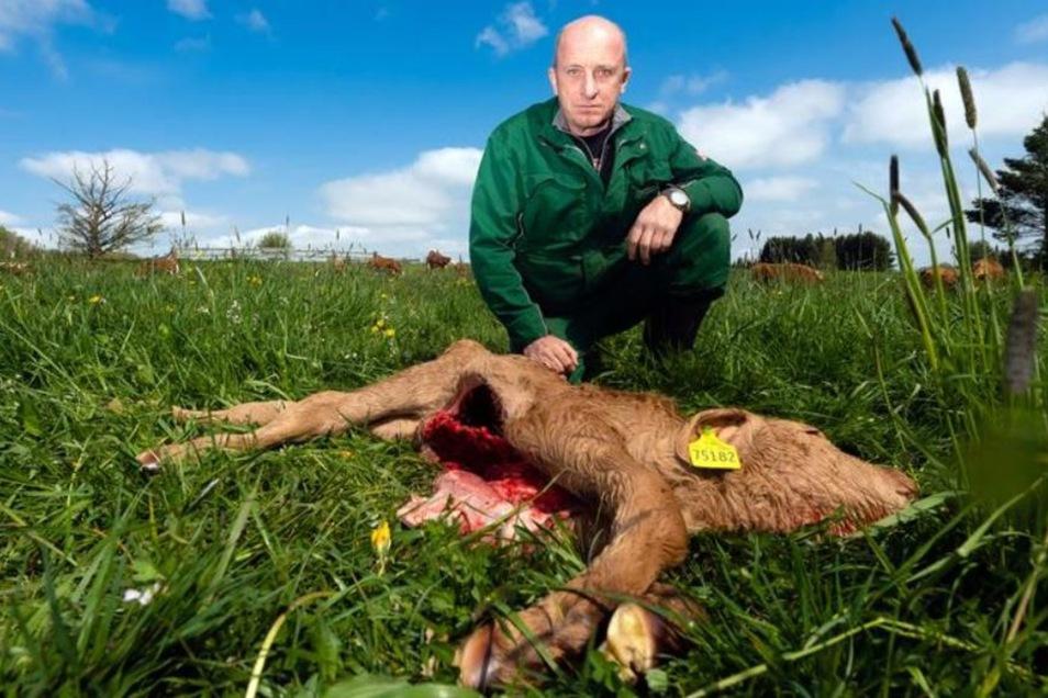 Ein Wolf hat in der Nacht zum Dienstag bei Radeberg ein zwei Tage altes Kälbchen gerissen. Landwirt Matthias Hennig hofft, dass es sich um einen einmaligen Vorfall handelt.