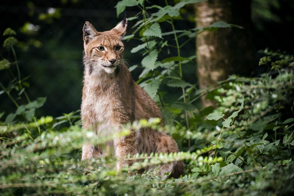 Luchse fühlen sich am wohlsten in großen, zusammenhängenden Waldgebieten. In Ostsachsen käme laut Experten das Gebiet an der polnischen Grenze als Lebensraum infrage. Dieses Foto stammt aus einem naturnahen Gehege im schweizerischen Zoo Servion.