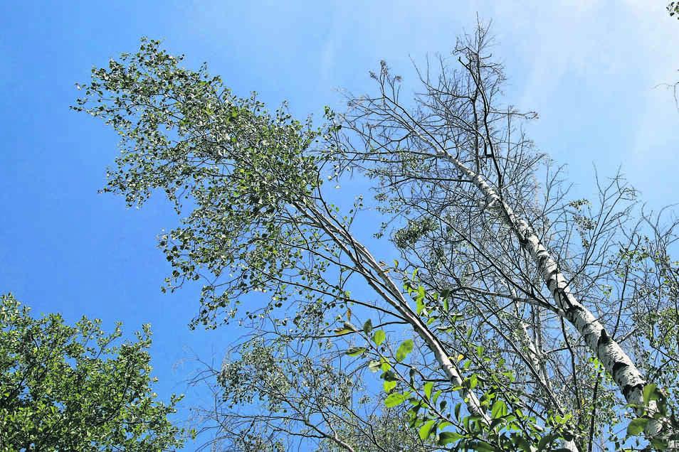 Die Laubfärbung fällt in diesem Jahr aus, denn einige Birken werfen schon jetzt ihre Blätter ab. Besonders am Quitzdorfer Stausee ist das Phänomen in diesem Jahr zu beobachten.