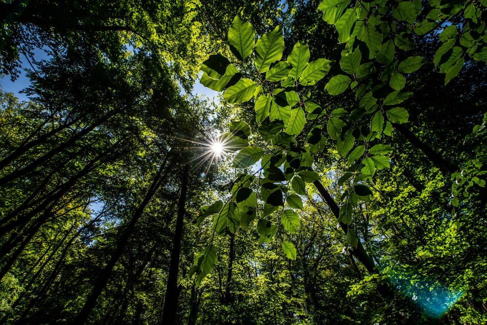 In Sachsens Wäldern bleibt die Situation trotz der Niederschläge und kühlen Temperaturen der vergangenen Wochen angespannt.