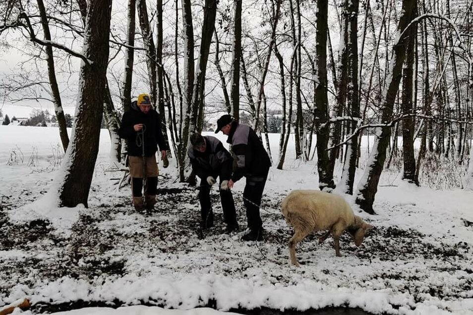 Einer der jüngsten Fälle: Zwei angekettete Schafe mussten aus einem Wald bei Eibau befreit werden.