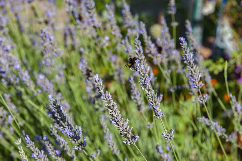 Der Lavendel wurde schon im Mittelalter wegen seiner beruhigenden Wirkung als Heilkraut geschätzt.