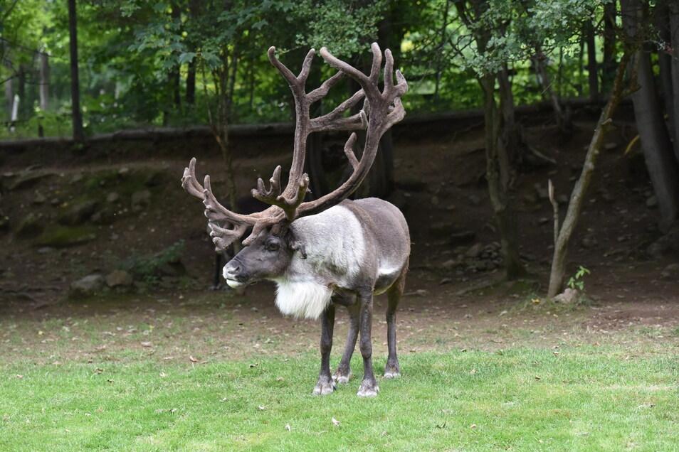 Wildpark Geising Mit einem imposanten Geweih präsentiert sich der Rentier-Hirsch.