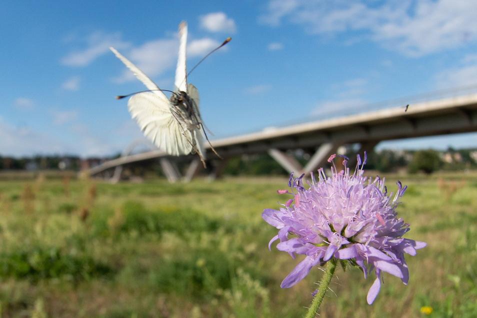 """""""Weniger Rasen, mehr Schmetterlingswiesen"""", fordert die Wildbienenexpertin Mandy Fritzsche."""