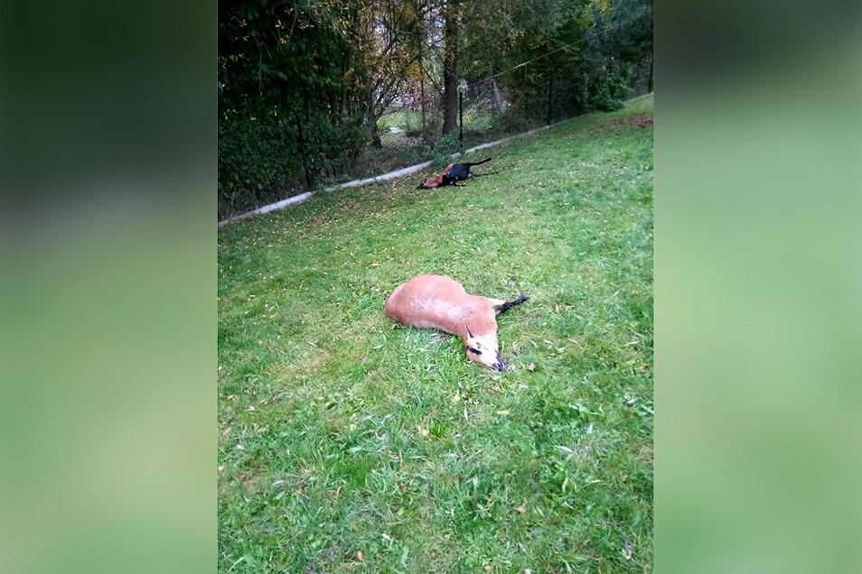 Diese beiden Schafe und ein weiteres fand der Großdrebnitzer Tierhalten am Morgen tot auf seinem Grundstück. Außerdem waren zwei so verletzt, dass er sie notschlachten musste.