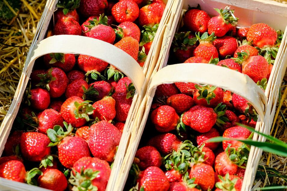 Keine Ernte: Die Beeren auf den hiesigen Erdbeerfeldern sind noch nicht reif.