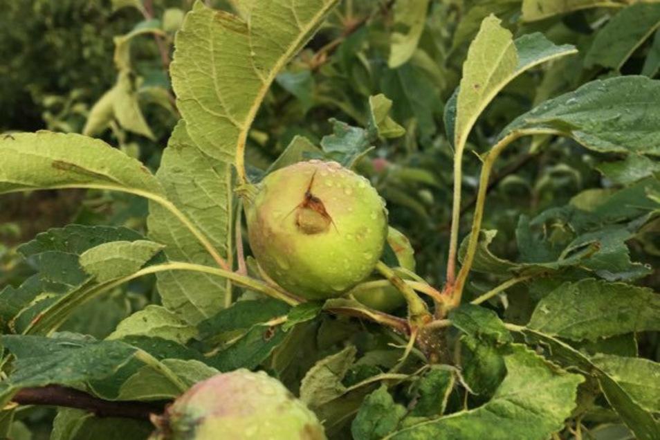 Im vergangenen Jahr wurden mehr als 700 Hektar Apfel- und Birnen-Plantage der Obstland AG von Hagel beschädigt.