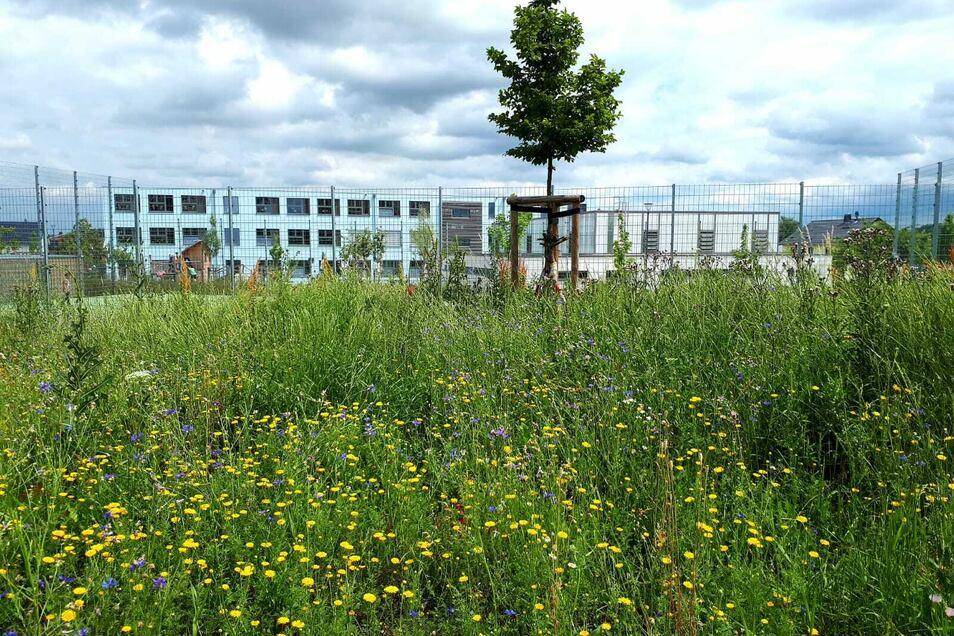An der Aritaschule Meißen blüht die angelegte Bienenwiese in voller Pracht.