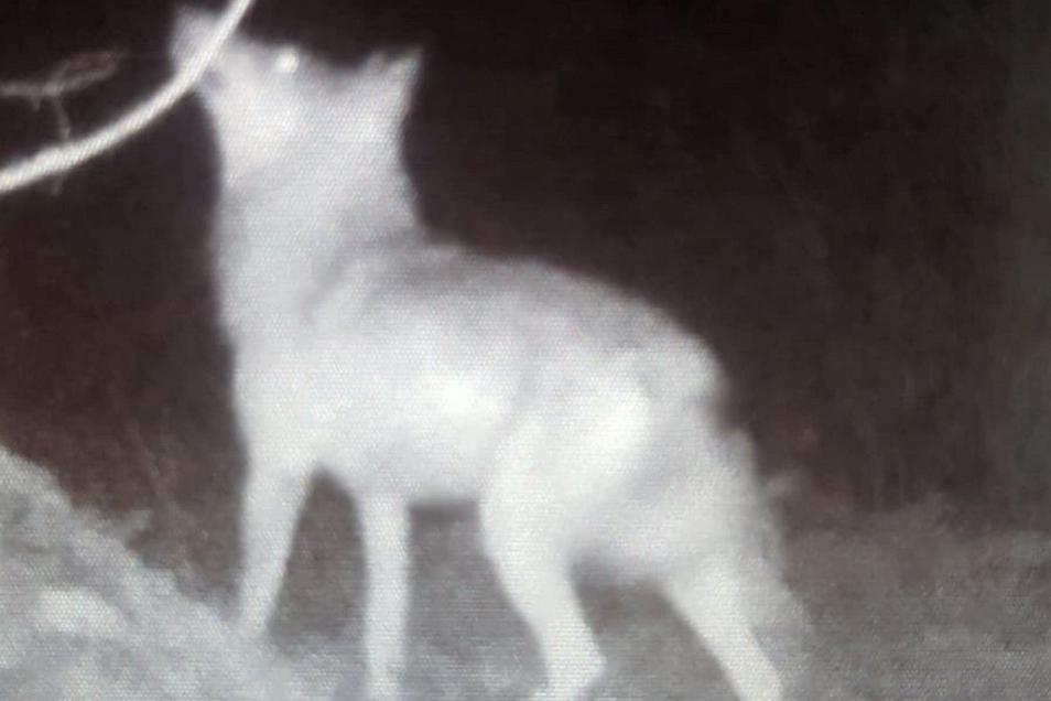 Der Wolf im Kirnitzschtal. aufgenommen von einer privaten Wildtierkamera. Was aufgrund der Bildqualität nicht zu sehen ist: Auf dem Baum direkt vor dem Wolf sitzt ein Waschbär.