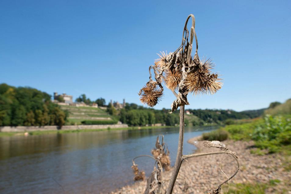 Der vergangene Sommer war wieder extrem trocken in Dresden. Pflanzen vertrockneten, Wiesen dörrten aus.