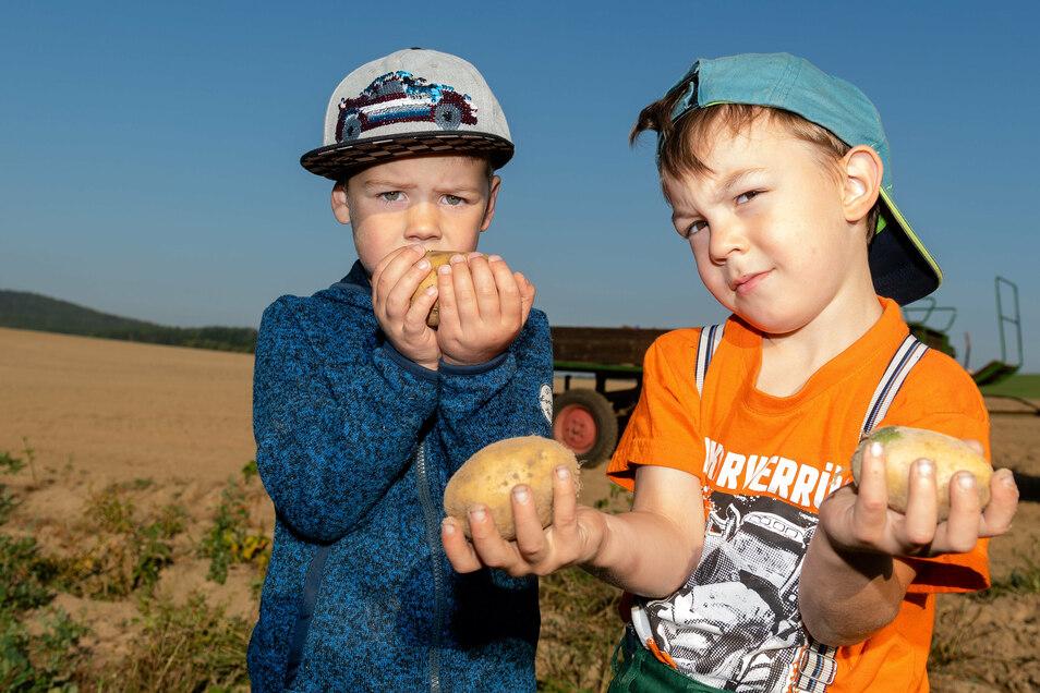 Erwin (r.) und Piet zeigen die großen Kartoffeln, die die Kinder der Kita Oberlichtenau auf ihrem eigenen Feld geerntet haben.
