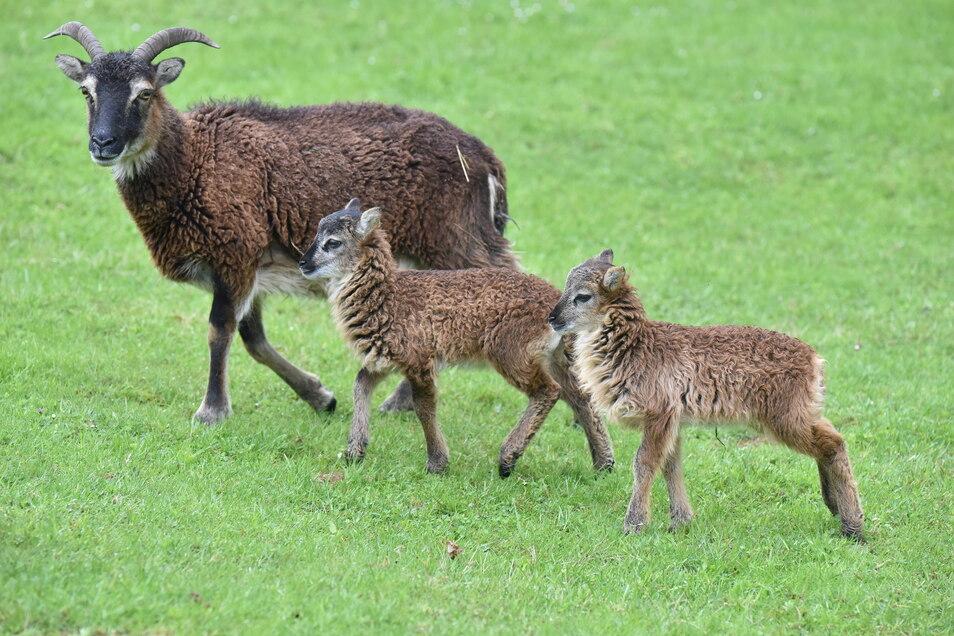 Die Soay-Schafe sind eine alte Haustierrasse aus dem Westen Schottlands. Sie haben seit diesen Frühjahr zwei Lämmchen.