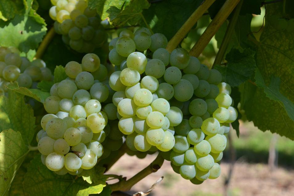 Auf weniger als einem Hektar, so am Gellertberg bei Oberau, werden Silvaner-Weine in Sachsen kultiviert, was sie zur absoluten Rarität macht.