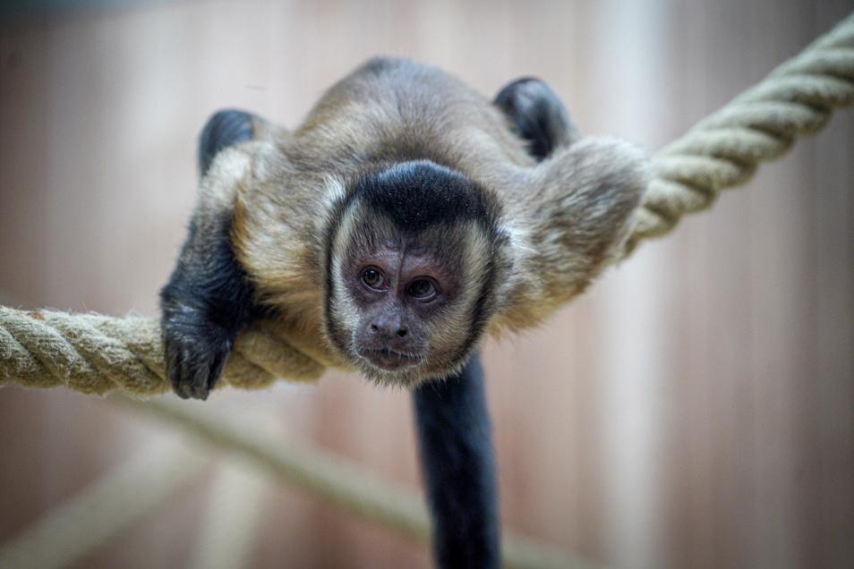 Im Bischofswerdaer Tierpark gibt es einige neue Tiere - unter anderem Kapuzineräffchen.