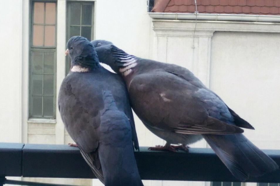 Ein Siegerpaar? Tauben auf dem Geländer des City-Centers gegenüber dem Kaufhaus.