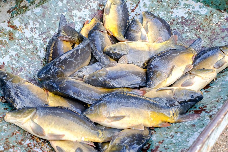Die Teichwirtschaft Moritzburg öffnet ab 4. September wieder ihren Hofladen. Dort gibt es auch die ersten frischen Karpfen.
