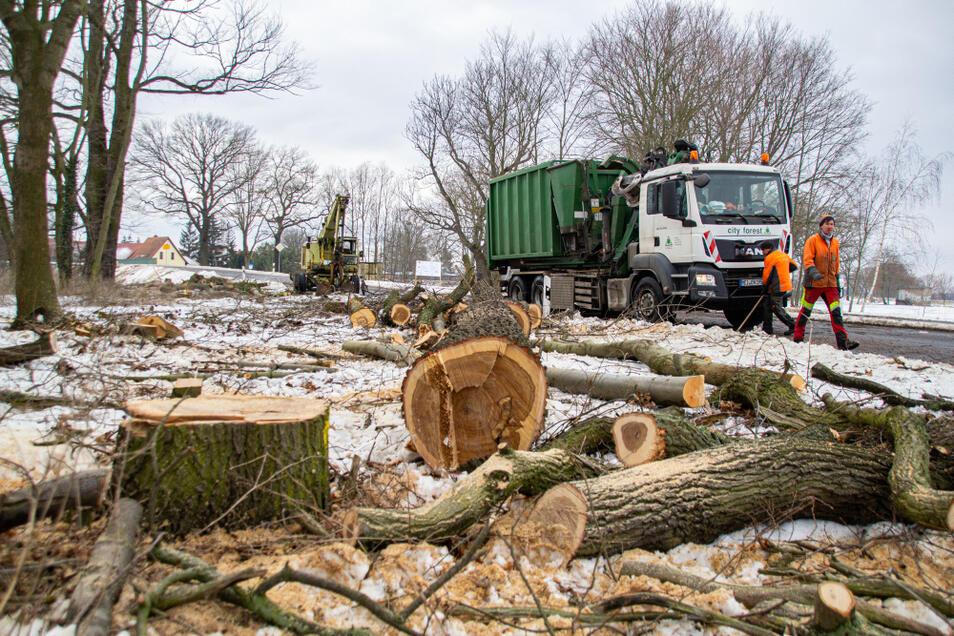 """Seit einer Woche sind entlang der Kreisstraße zwischen Tätzschwitz (im Hintergrund) und Geierwalde Baumfällarbeiten im Gange. Die Firma """"city forest"""" nutzt im Auftrag des Landkreises Bautzen die Zeit bis zum Beginn der Vegetationsperiode am 1. Mär"""