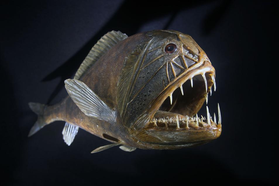 Er ist nicht unbedingt attraktiv, aber mit seinen Zähnen sehr effektiv. Der Fangzahnfisch lebt in Meerestiefen bis 5.000 Meter.