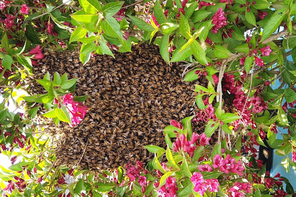 Ein Bienenvolk erbaute in kurzer Zeit ein Nest vor einem Haus.
