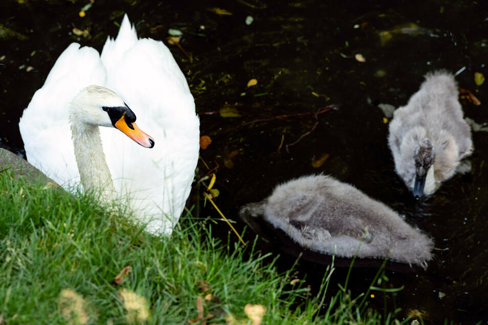Schwan mit Nachwuchs auf dem Teich im Neustädter Arthur-Richter-Park.