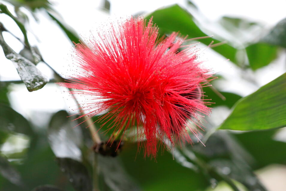 Der baumhohe Puderquastenstrauch steht in voller Blüte. An der außergewöhnlichen Blütenpracht werden sich Besucher in diesem Jahr wohl nicht mehr erfreuen können. Im April werden auch die letzten Blüten verwelkt sein.
