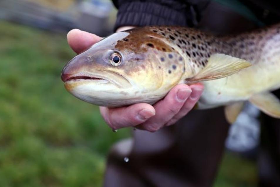 Ein rätselhaftes Verhalten von Junglachsen in einer Fischaufzuchtanlage im Sauerland hat möglicherweise einen kuriosen Hintergrund. (Symbolfoto)