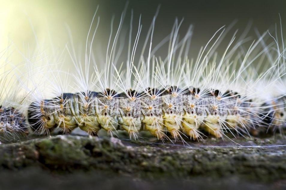 Die Raupe des Eichenprozessionsspinners hat Gifthaare am ganzen Körper, diese können starke Hautreaktionen verursachen.