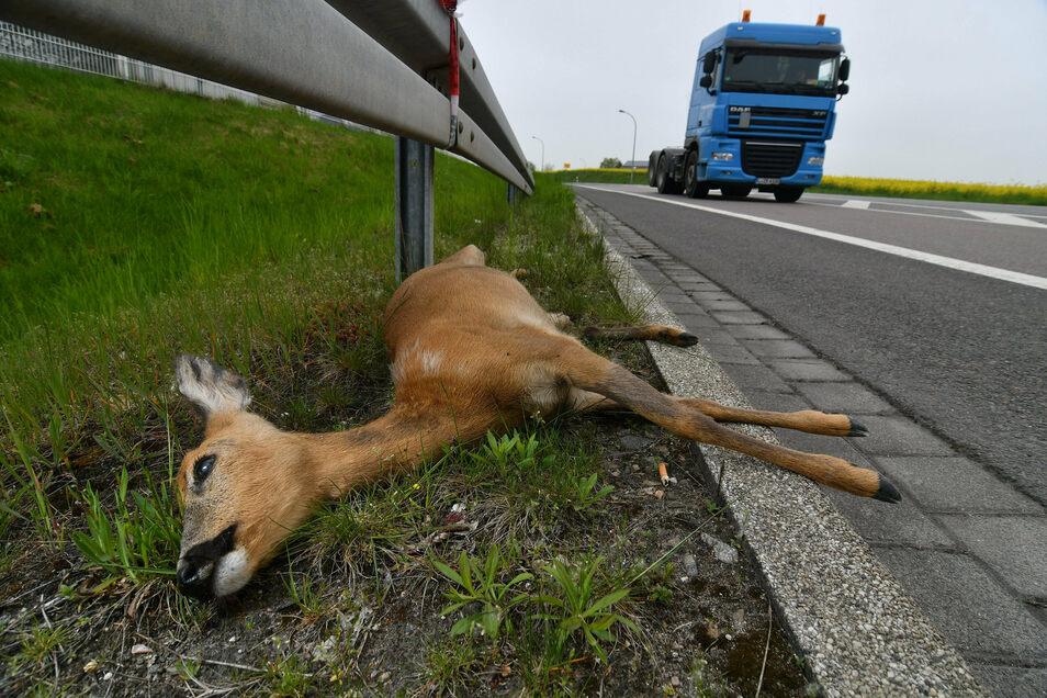 In diesen Tagen leider keine Seltenheit: Tot gefahrene Rehe oder Wildschweine, die durch den Zusammenstoß teilweise nicht nur beschädigte Fahrzeuge, sondern auch Verletzungen davontragen.