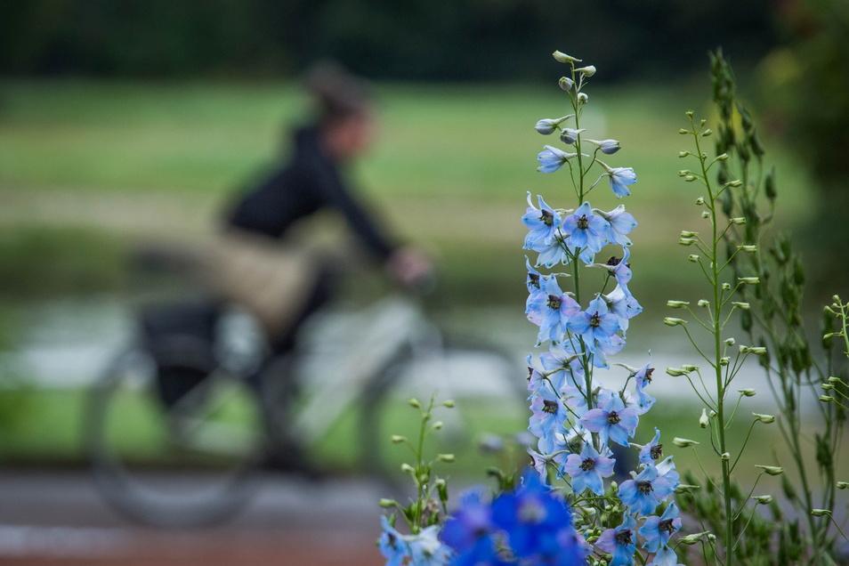 """Der Weg, der den Mittelteil des Rosengartens vom sogenannten """"Senkgarten"""" trennt, ist bepflanzt mit Rittersporn in den verschiedensten Blautönen. Vom Elberadweg aus kann man im Vorbeifahren einen Blick darauf erhaschen."""