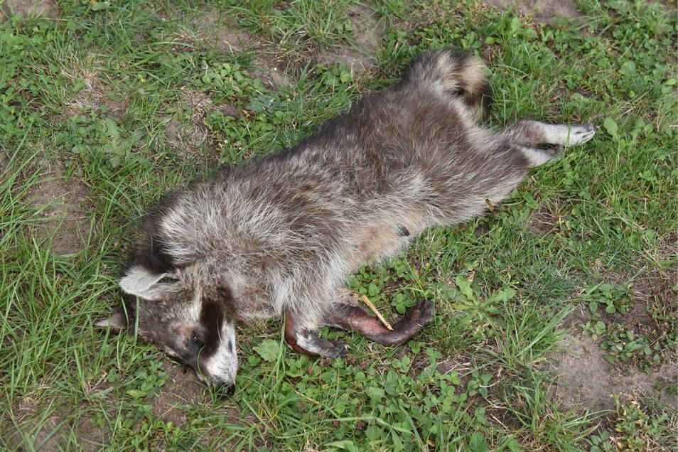 Für einmal gefangene Waschbären gibt es kein Happy End. Außer in Kindergärten erschießt der City-Trapper die Tiere noch an Ort und Stelle.
