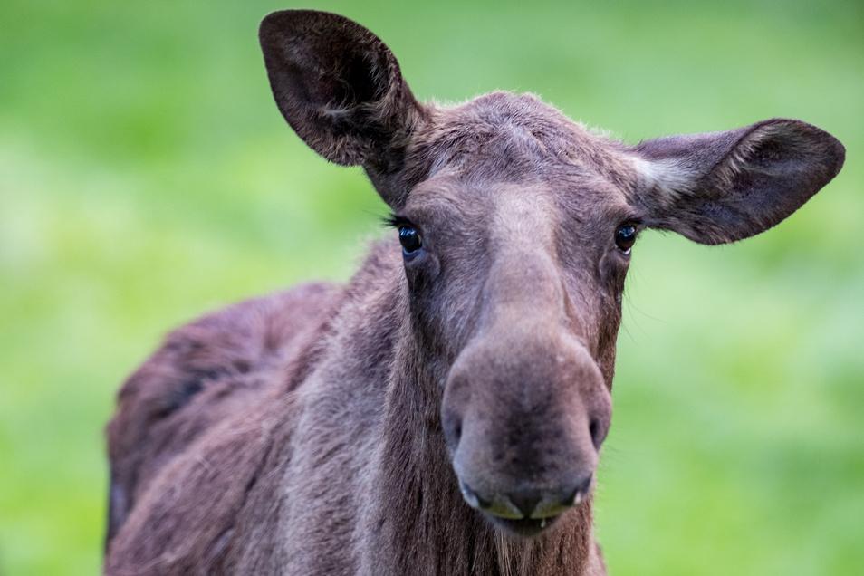 Elli, das in Moritzburg geborene Tier,  musste am Montag in eine private Elchfarm nach Kleptow gebracht worden. Auslöser war eine Attacke des Elchbullen Horst gewesen,