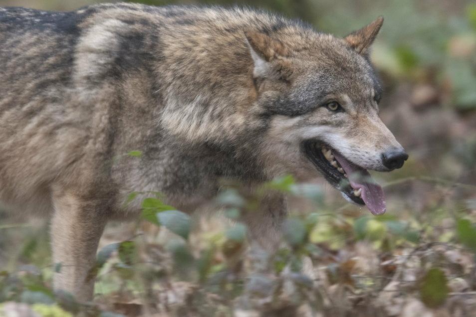 Wölfe sind in den vergangenen beiden Jahren immer wieder in der Region gesichtet worden