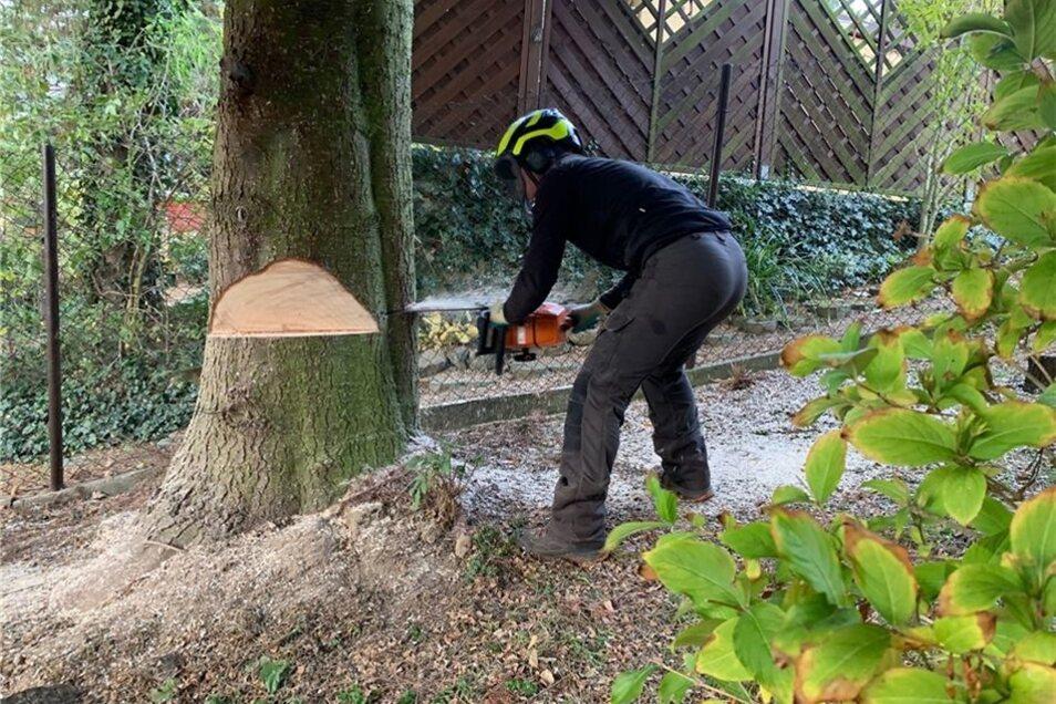 Am Samstagmorgen rückten die Baumfäller in Pirna mit der Motorsäge an.