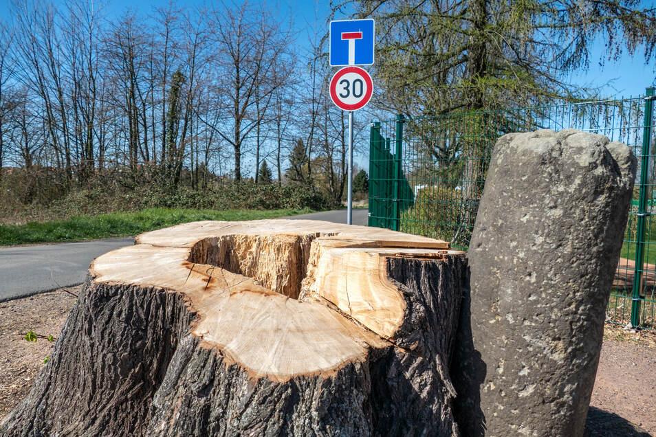 Von der stattlichen Böttgerlinde an der Jahnstraße ist nur noch der Stumpf übrig.