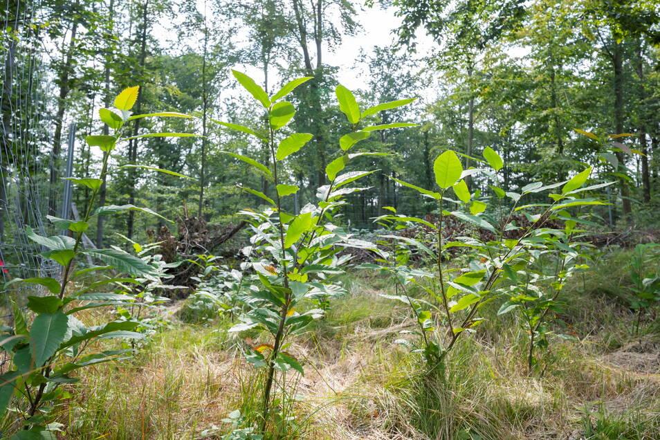 Wald der Zukunft: Diese Bäumchen sind Esskastanien. Seit Jahrhunderten vereinzelt im Elbtal angepflanzt, kommen sie gut mit Dürre zurecht.