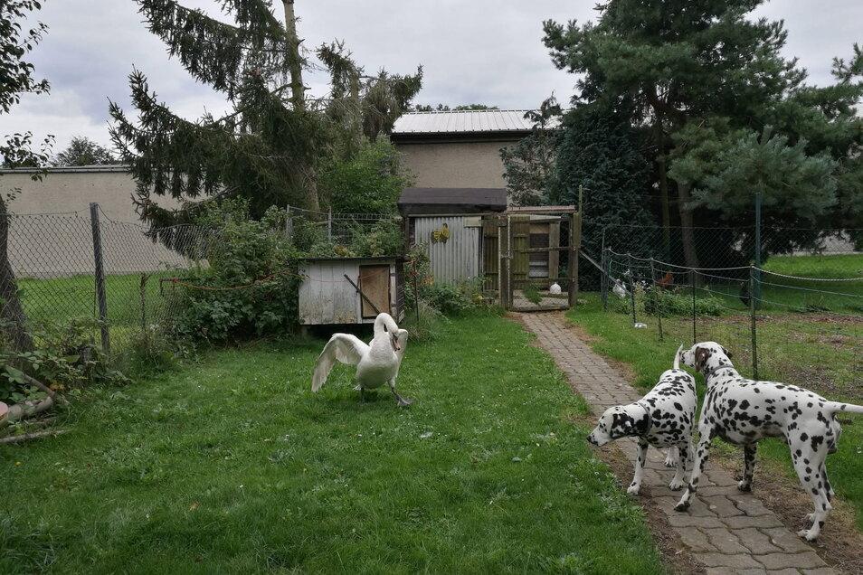 Die beiden Dalmatiner Alin und Djotto staunten nicht schlecht über den gefiederten Gast in ihrem angestammten Garten.