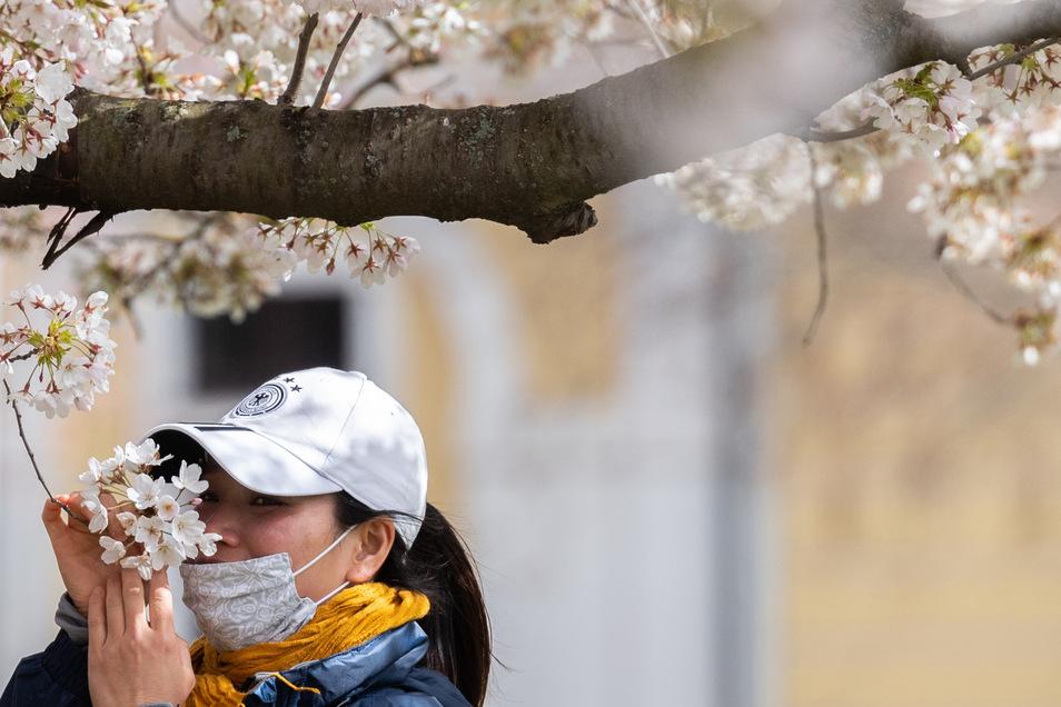 Ein Frau mit Mundschutz riecht am Elbufer an den Blüten einer Zierkirsche. Mundschutz wird ab Montag Pflicht im ÖPNV und in Geschäften. Bald auch im Landratsamt Meißen.