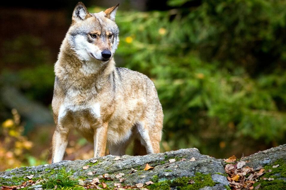 Für 2019 gibt es aus Dresden bisher 47 Hinweise zu Wölfen.