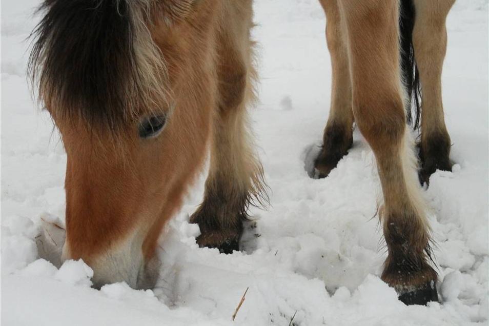 Biensdorf. Anne Vogel schreibt: Unsere Fjordstute genießt den ersten Winter bei uns im Schnee.