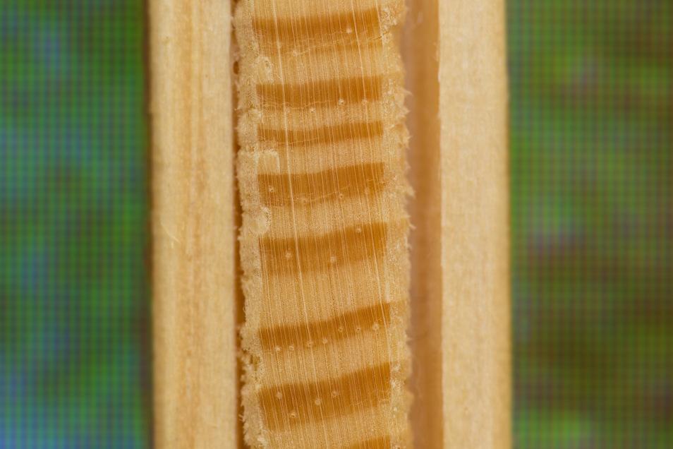 Zum Gewinnen von Daten werden auch Holz-Bohrkerne aus den Stämmen gewonnen.